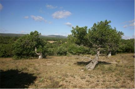 Fotografía 4. Grupo de sabinas en Umbría Miguel